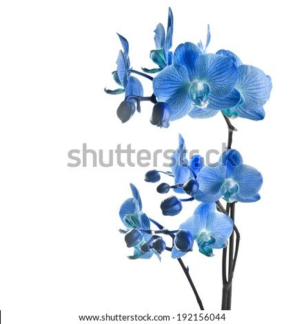 Blue orchid isolated on white background  - stock photo