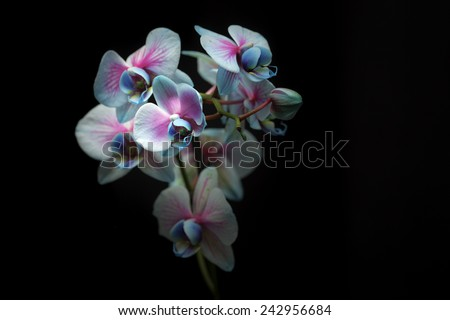 Blue orchid on black - stock photo