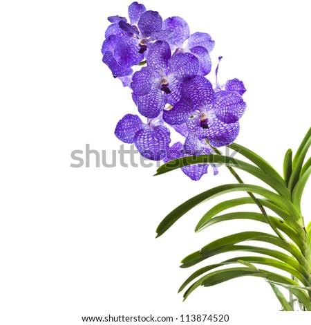 Blue orchid (vanda sansai blue) close up isolated on white background - stock photo