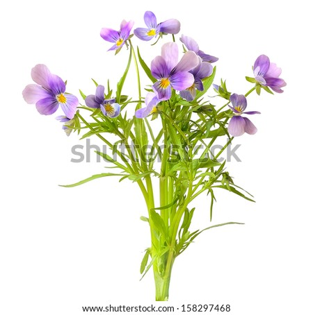 Blue pansy flowers isolated on white background - stock photo