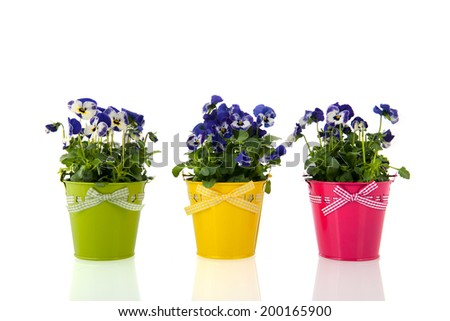 Blue pansy plants with flowers in colorful pot - stock photo