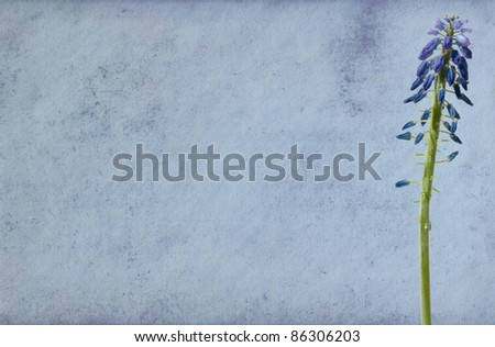 Blue paper background with grape-hyacinth flower. - stock photo