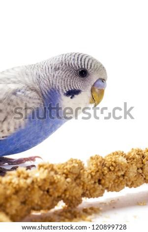 Blue parakeet eating millet - stock photo