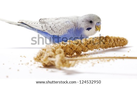 Blue parakeet eating millet on a white surface - stock photo
