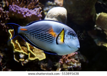 Blue parrot fish against a coral reef background