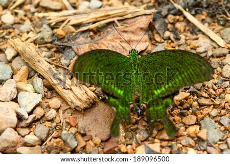 blue peacock butterfly - stock photo