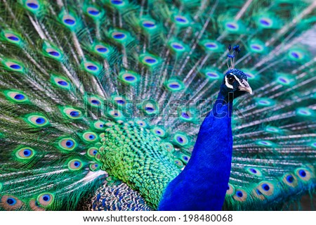 Blue peacock with beautiful feathers wide open