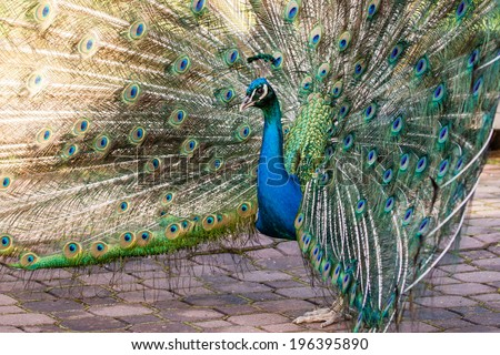 Blue Peacock with huge feathers on ground