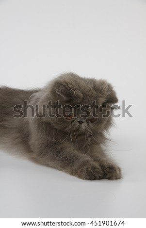 Blue persian cat looking down and catch something on white background - stock photo