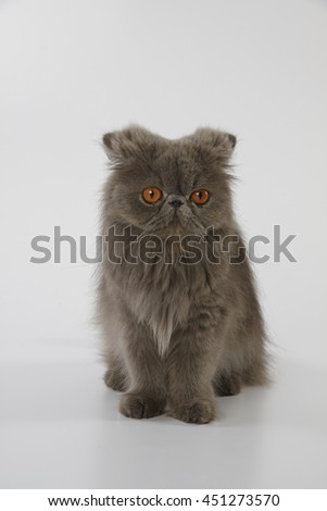 Blue persian cat sitting on white background with lower ears - stock photo