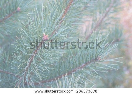 Blue pine branches, background for Christmas design, faded style effect