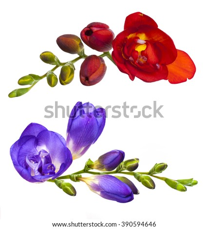 Blue pink freesia flowers isolated on stock photo royalty free blue pink freesia flowers isolated on white background mightylinksfo