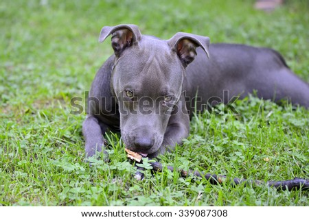 Blue pit-bull lying on grass and looking at camera. - stock photo