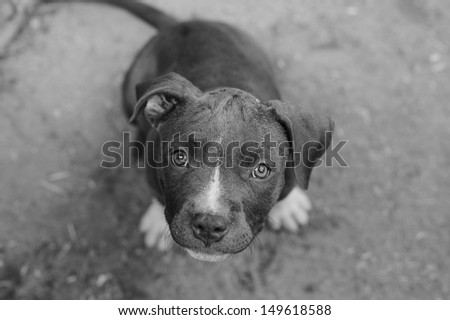 Blue pit bull puppy - stock photo