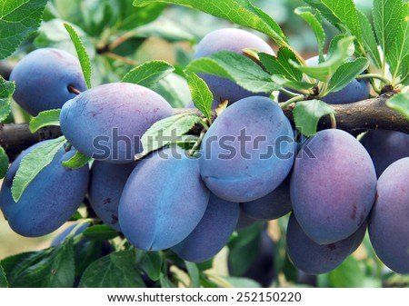 Blue plums  - stock photo