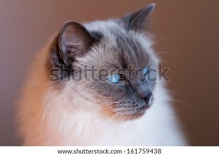 Blue Point Rag doll cat - stock photo