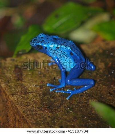 Blue poison dart frog - stock photo
