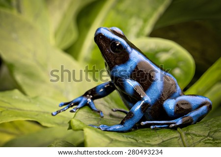 blue poison dart frog, Dendrobates auratus from the tropical rain forest of Panama, a beautiful poisonous rainforest animal - stock photo