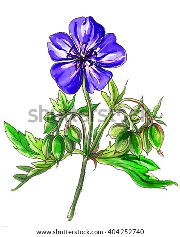 Blue purple Geranium Rozanne flower blossom. Hand drawn watercolor tropical flower isolated on white background. Botanical illustration for wedding printing products, cards, invitation. Japanese style