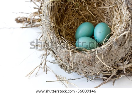 blue robin eggs in the nest