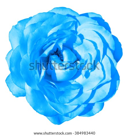 Blue rose flower macro isolated on white - stock photo