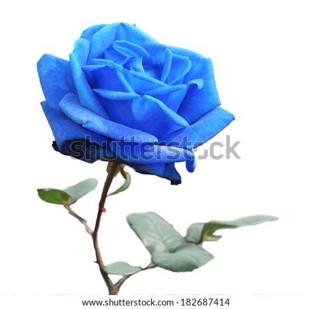 Blue rose isolated on white background  - stock photo