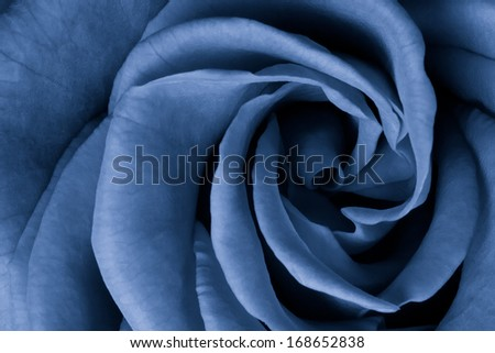 blue rose petals close up - stock photo