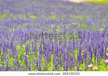 blue salvia flowers in the field in sunny day, soft focus at front of picture