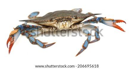 Blue sea crab isolated on white background  - stock photo