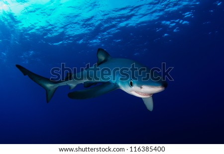 Blue shark in the Atlantic ocean off the Azores - stock photo