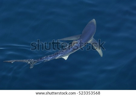 Blue Shark In The Pacific