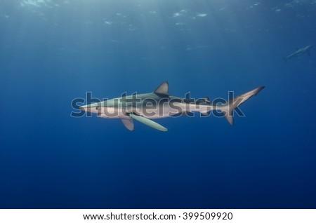 Blue shark in the sunshine , Atlantic Ocean - stock photo