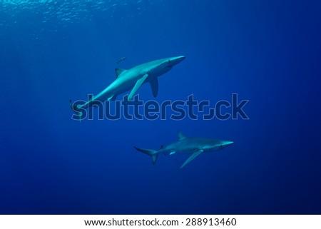 Blue Shark - Prionace glauca - stock photo
