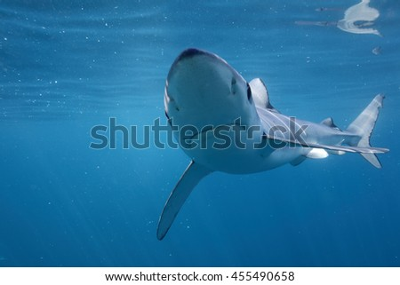 blue shark, Prionace glauca, off Cape Point, South Africa, Atlantic Ocean
