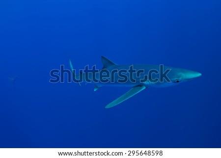 Blue Shark - Prionace glauca , Pico island, Azores. - stock photo