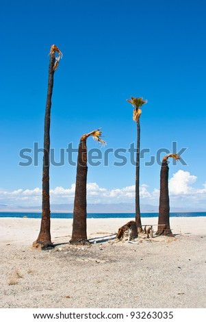 Blue skies and dead palm trees on the shore of a desert lake (Salton Sea).