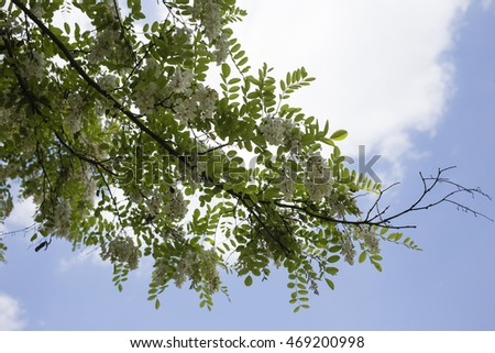 Blue sky and branches of tree. This image can be used as background.