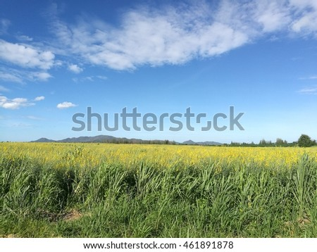 Blue sky and green field yellow flowers
