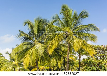 Blue sky and palm trees with coconuts. Goa, India