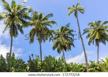 Blue sky and palm trees with coconuts. Goa, India - stock photo