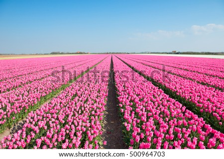 Blue sky and tulip field