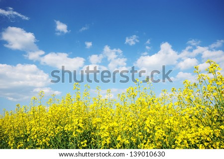 Blue sky and yellow flowers field. Summer landscape - stock photo