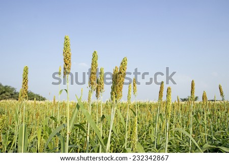 blue sky on millet with growing in the field