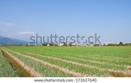 blue sky white cloud and Green onion field in Taiwan - stock photo