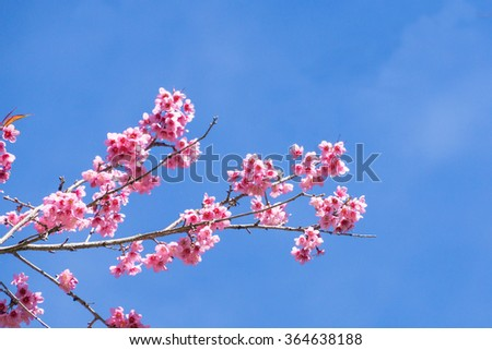 Blue sky with Thai cherry blossom, Thai Sakura or Wild Himalayan Cherry in Chiang Mai,Thailand.
