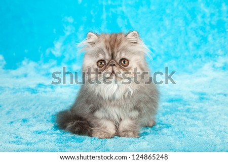 Blue Smoke Persian kitten on blue fake faux fur background - stock photo