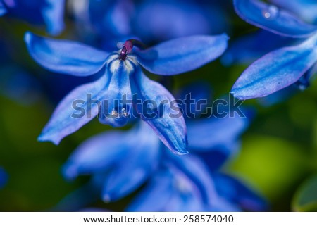 Blue snowdrop with dew drop closeup, spring flowers - stock photo