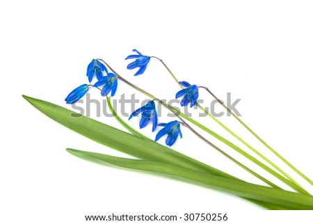 blue snowdrops isolated on white background