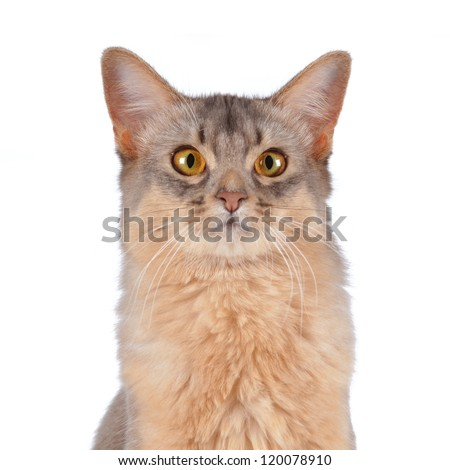 Blue somali cat head portrait isolated on white looking at camera - stock photo