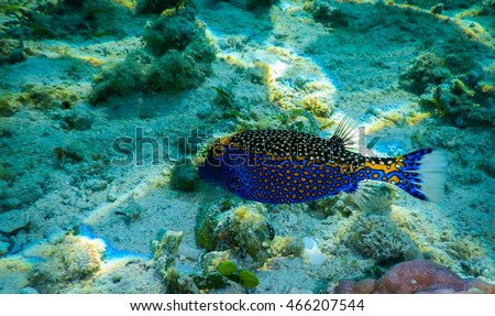 Blue spotted Box fish